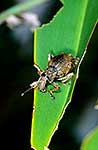 Giant flax weevil