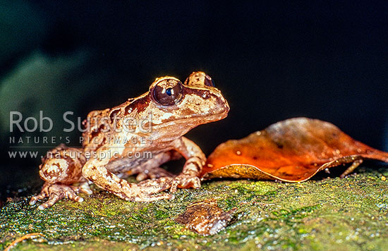 Maud Island Frog (Leiopelma pakeka), Maud Island, Marlborough Sounds, Marlborough District, Marlborough Region, New Zealand (NZ) stock photo.