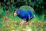 Colourful Takahe bird in grass