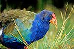 Closeup of Takahe bird