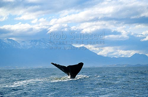 Sperm whale (Physeter macrocephalus) tail fluke as it begins to dive. Snowy Kaikoura Ranges beyond, Kaikoura, Kaikoura District, Canterbury Region, New Zealand (NZ) stock photo.