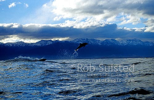 Dusky dolphins (Lagenorhynchus obscurus) jumping in front of the snowy Kaikoura Mountains, Kaikoura, Kaikoura District, Canterbury Region, New Zealand (NZ) stock photo.