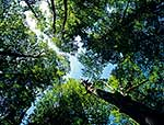 Native forest canopy