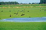 Field of black swans near wetlands