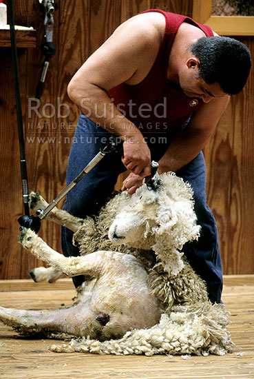 Sheep Shearing New Zealand Nz Stock Photo From New