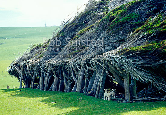 Windswept Macrocarpa trees at Slope Point - most southern point of NZ, Catlins, Clutha District, Otago Region, New Zealand (NZ) stock photo.