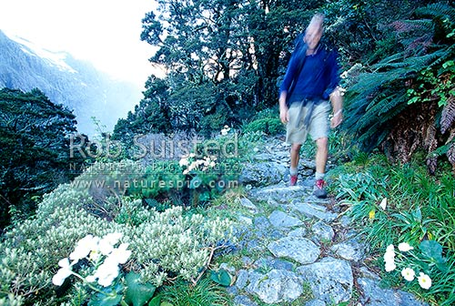 Climbing to Mackinnon Pass on the Milford Track, past Mount (Mt) Cook Lilies - the 'finest walk in the world', Fiordland National Park, Southland District, Southland Region, New Zealand (NZ) stock photo.