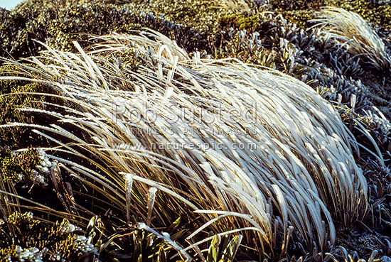 Ice encrusted tussock. Makaroro tops, Ruahine Forest Park, Hawke's Bay Region, New Zealand (NZ) stock photo.