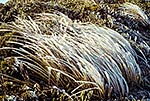 Ice frosted tussock, Ruahines