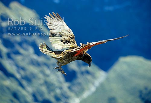 Kea (Nestor notabilis) flying the breeze, Fiordland National Park, New Zealand (NZ) stock photo.