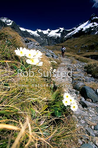 Tramper and Mount (Mt) Cook Lilies on the Milford Track -Mackinnon Pass - the 'finest walk in the world', Fiordland National Park, Southland District, Southland Region, New Zealand (NZ) stock photo.