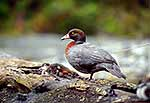 Blue duck, endemic torrent duck