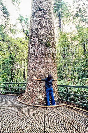 Giant kauri trees (Agathis australis) in Puketi Forest, Kerikeri, Far North District, Northland Region, New Zealand (NZ) stock photo.