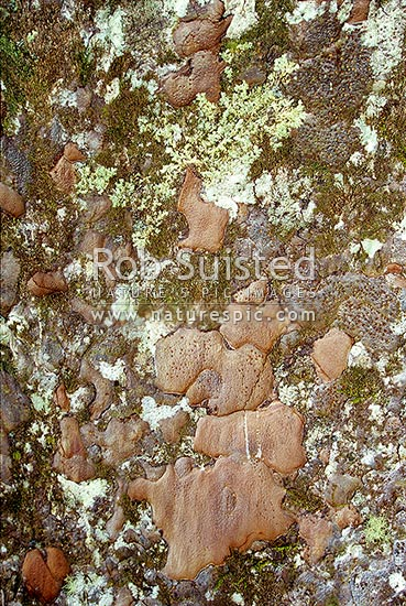 Kauri tree (Agathis australis) bark in Puketi Forest, Kerikeri, New Zealand (NZ) stock photo.