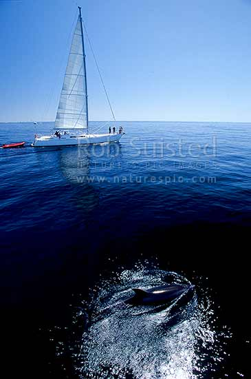 Bottlenose dolphins (Tursiops truncatus) and yacht in the Bay of Islands, Bay of Islands, Far North District, Northland Region, New Zealand (NZ) stock photo.