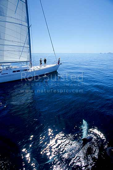 Bottlenose dolphins and yacht in the Bay of Islands, Bay of Islands, Far North District, Northland Region, New Zealand (NZ) stock photo.