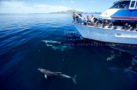 Bottlenose dolphins playing around a tour boat, Bay of Islands, Far North District, Northland Region, New Zealand (NZ) stock photo.