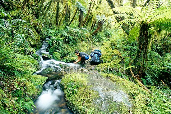 Drinking pure water from a side creek on the Copland Track, South Westland, Westland District, West Coast Region, New Zealand (NZ) stock photo.