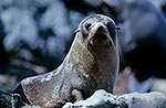 Inquisitive native fur seal on rock
