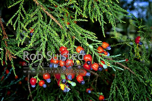 Ripe fruit (seed and receptacle) of Kahikatea (Dacrycarpus dacrydiodes), Northland, New Zealand (NZ) stock photo.