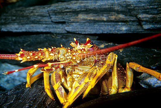 New Zealand Rock Lobster (Crayfish) - Jasus edwardsii, Otago, Clutha District, Otago Region, New ...