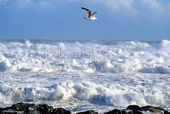 Seagull hovering over wild stormy seas on the rocky south coast of Wellington, Wellington, Wellington City District, Wellington Region, New Zealand (NZ) stock photo.