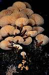 Flammulina velupites native fungus