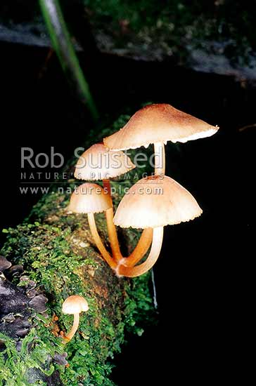 Native Fungi, Christchurch, New Zealand (NZ) stock photo.