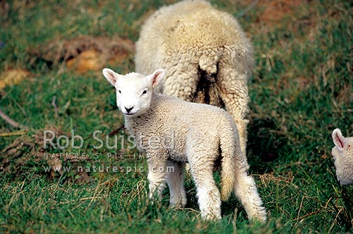 Spring lambs and sheep on pasture, Otago Peninsula, New Zealand (NZ) stock photo.