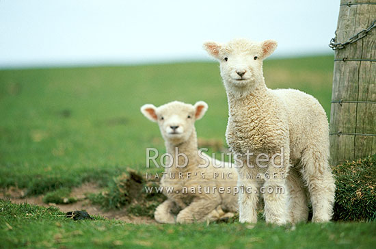 Новая Зеландия: Сокращение производственных затрат подбодрило местных животноводов