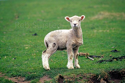 Spring lamb - sheep, Otago Peninsula, New Zealand (NZ) stock photo.