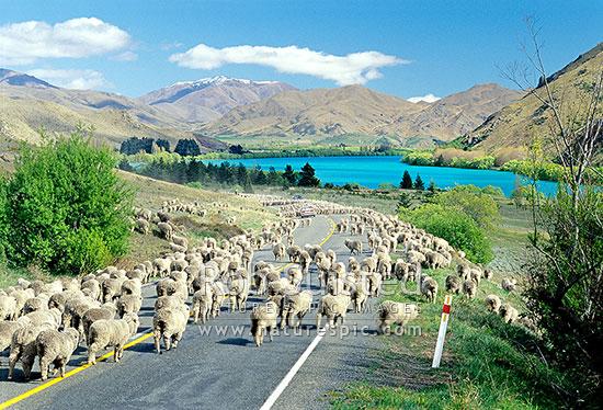 Merino sheep (Ovis aries) muster on state highway between cars. Lake Aviemore beyond, Otematata, Waitaki District, Canterbury Region, New Zealand (NZ) stock photo.