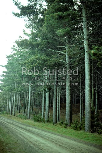 Mature pine trees in plantation forest pinus radiata for Mature pine trees