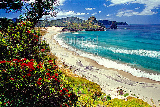 Awana Bay with Pohutukawa trees in flower during summer, Great Barrier Island, Auckland City District, Auckland Region, New Zealand (NZ) stock photo.