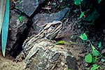 Tuatara lizard, NZ native