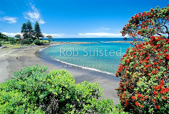 Mathesons Bay with flowering Pohutukawa tree in foreground, Leigh, Rodney District, Auckland Region, New Zealand (NZ) stock photo.