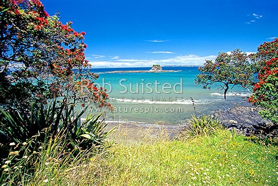 Mathesons Bay. Pohutukawa in flower, Leigh, Rodney District, Auckland Region, New Zealand (NZ) stock photo.