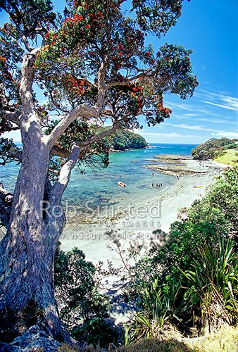 Goat Island beach and Goat Island Marine Reserve with flowering pohutukawa tree in summertime, Leigh, Rodney District, Auckland Region, New Zealand (NZ) stock photo.