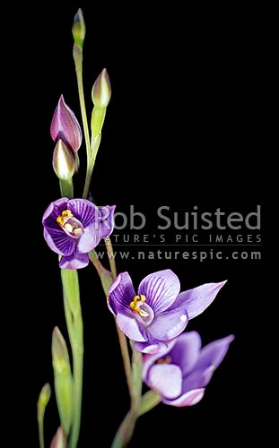NZ native Sun orchids - Thelymitra sp, Great Barrier Island, New Zealand (NZ) stock photo.