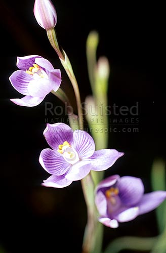 Sun orchids - Thelymitra sp, Great Barrier Island, New Zealand (NZ) stock photo.