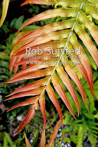 Palm-leaf fern frond (Blechnum novae-zelandiae, kiokio, horokio, palm leaf fern), Great Barrier Island, New Zealand (NZ) stock photo.