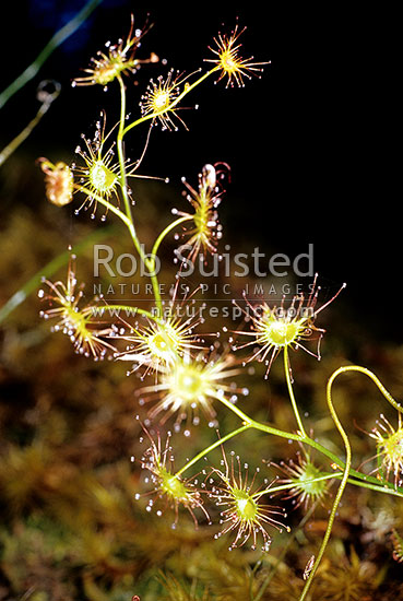 Carnivorous / insectivorous plant - creeping Sundew - Droscera species, Great Barrier Island, New Zealand (NZ) stock photo.
