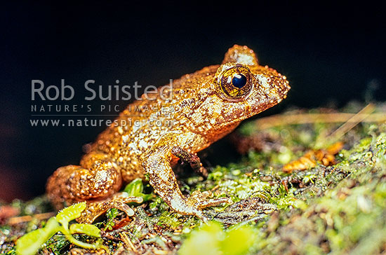 Native Hochstetter's Frog (Leiopelma hochstetteri), Coromandel, Thames-Coromandel District, Waikato Region, New Zealand (NZ) stock photo.