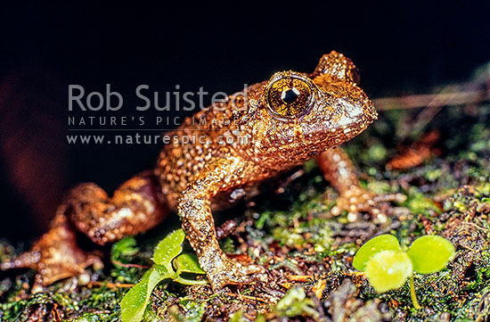 Native Hochstetter's Frog (Leiopelma hochstetteri), Coromandel, New Zealand (NZ) stock photo.