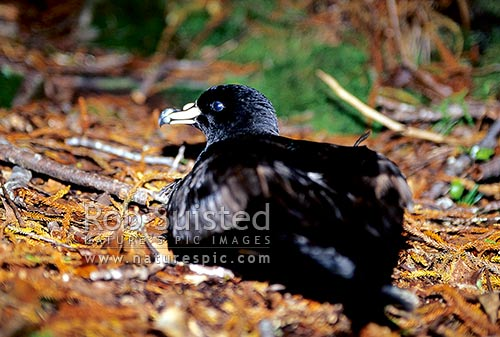 Black Petrel (Procellaria parkinsoni) on forest floor at night. Endangered species, Great Barrier Island, New Zealand (NZ) stock photo.