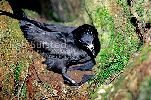 Black Petrel native endangered sea bird (Procellaria parkinsoni) on forest floor at night, Great Barrier Island, Auckland City District, Auckland Region, New Zealand (NZ) stock photo.