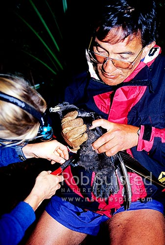 Identification leg banding of Black Petrel (Procellaria parkinsoni) at night, Great Barrier Island, New Zealand (NZ) stock photo.
