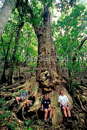 Giant Puriri tree (Vites lucens) and visitors, Great Barrier Island, Auckland City District, New Zealand (NZ) stock photo.