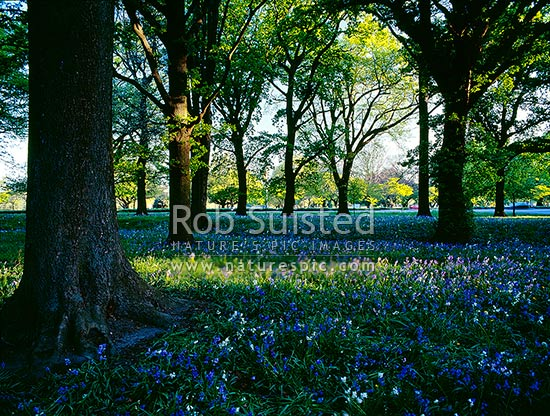 Bluebells flowering in Hagley Park, Christchurch, Christchurch City District, Canterbury Region, New Zealand (NZ) stock photo.
