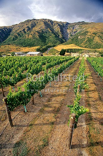 Vineyards near the Kawarau Gorge at Gibbston. Central Otago, Gibbston, Queenstown Lakes District, Otago Region, New Zealand (NZ) stock photo.